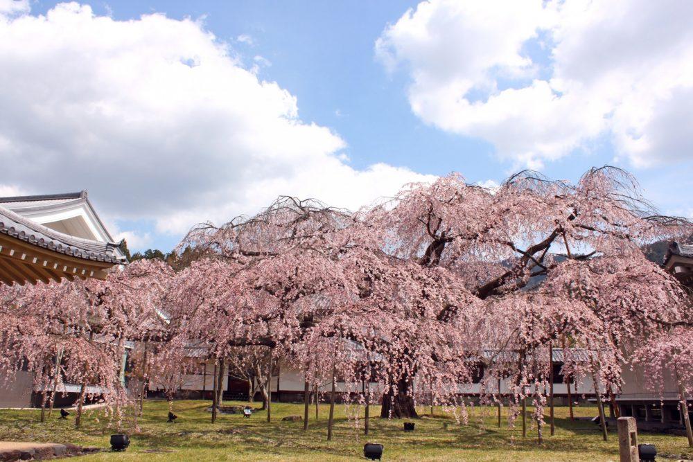 Hanami di Daigoji Temple